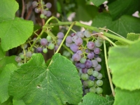 suburban-garden-solutions-gardens-grapes